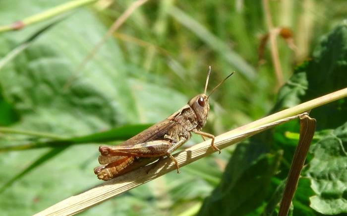 Can You Really Eat Grasshoppers to Survive?